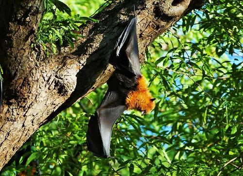 Madagascan Fruit Bat At Rest (Eidolon dupreanum)