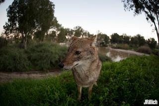 golden jackal @ HaYarkon Park, Tel-Aviv, Israel 2019 urban nature