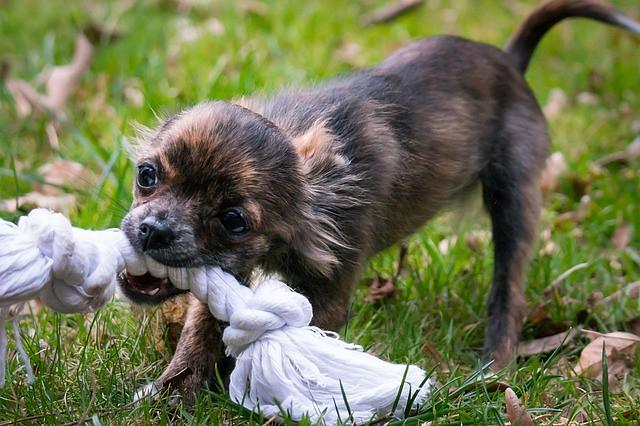 おもちゃで遊ぶことが大好きで褒められておもちゃをもらう犬
