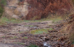 Bruant fou - Photo of Lias