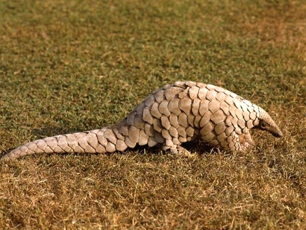 भूरे रंग का भारतीय पैंगोलिन