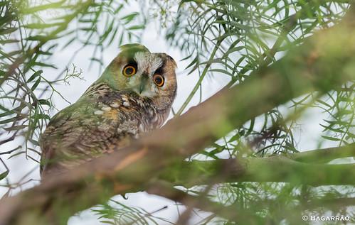 Bufo-pequeno | Long-eared Owl | Búho chico | Hibou moyen-duc (Asio otus)