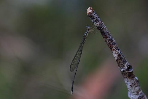 Rhadinosticta simplex