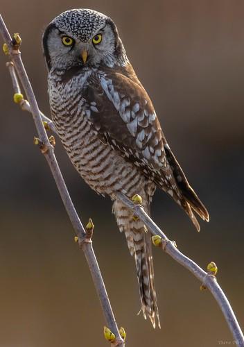 Hawk Owl - Closeup