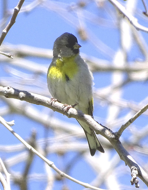 lawrence's goldfinch sepulveda basin wr 3-12-19.1