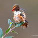 Male Allen's Hummingbird Uses Nictitating Membrane To Protect Its Eyes As It Grooms Feathers by brucefinocchio