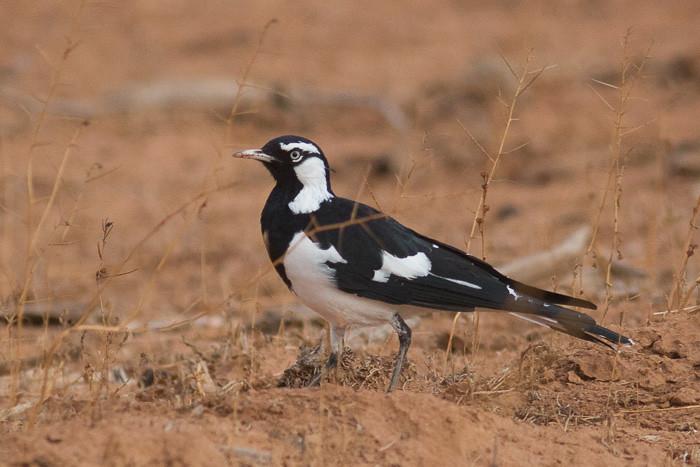 Magpie-lark  - male