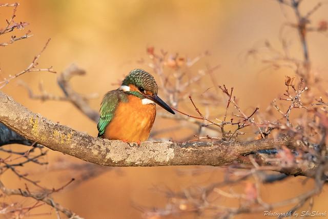 20190224-kingfisher-DSC_1692