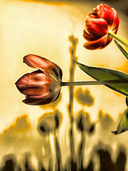 Tulips and shadow
