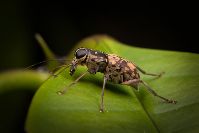 Curculionidae A