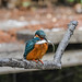 Kingfisher 1903171315.jpg