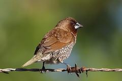 Nutmeg mannikin / Lonchura punctulata Port Douglas Queensland Australia