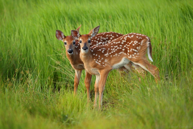 Adorable Twin Fawns in Shenandoah National Park