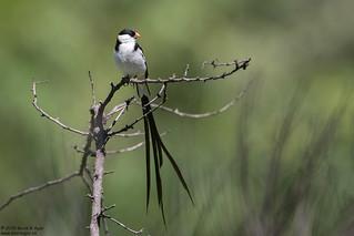 Pin-tailed Whydah, Vidua macroura