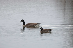 Canada Goose and Cackling Goose at Metzger Farm Open Space, Colorado