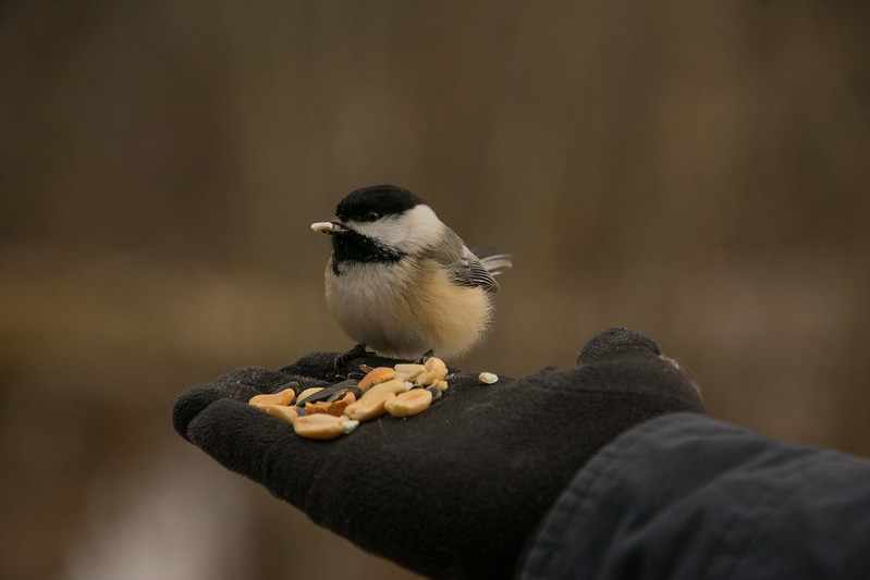 Photo: Feeding Chickadees by Mary Anne Pfrogner at Rocky River Reservation, Cleveland Metroparks, 24000 Valley Pkwy, North Olmsted, OH 44070