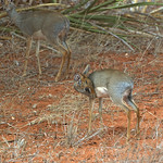 Dik-dik with Fawn Kenya