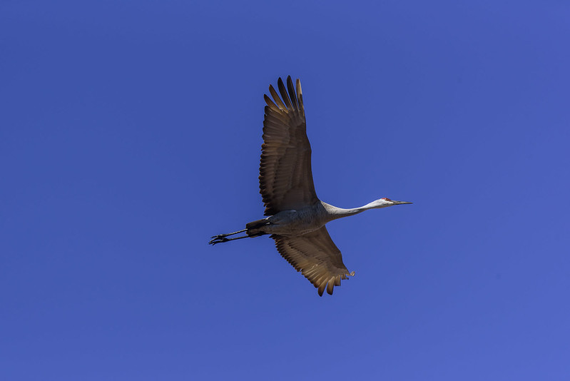 Sandhill In Flight