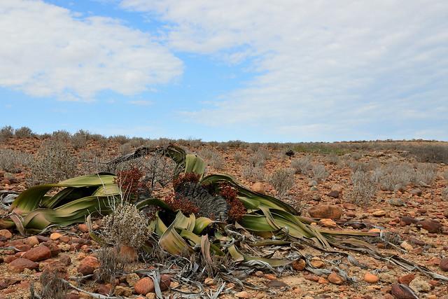 Welwitschia mirabilis (Female plant)