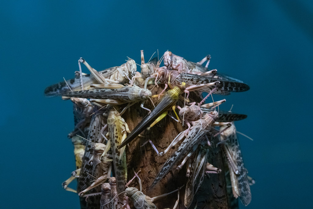 Locusts_2