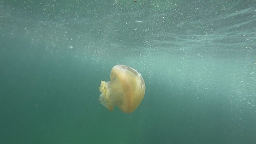 Jelly Blubber at Shelly Beach, Manly