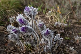 2008 03 15 - pulsatilla flowerbuds 2