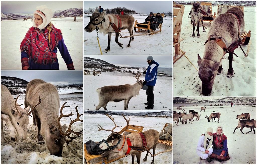 Karmienie reniferów Tromso