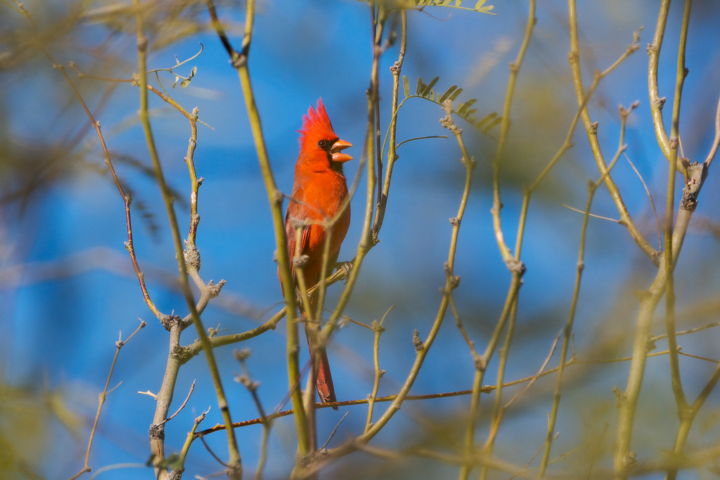 A male northern cardinal sings from a tree on a March afternoon in Scottsdale, Arizona