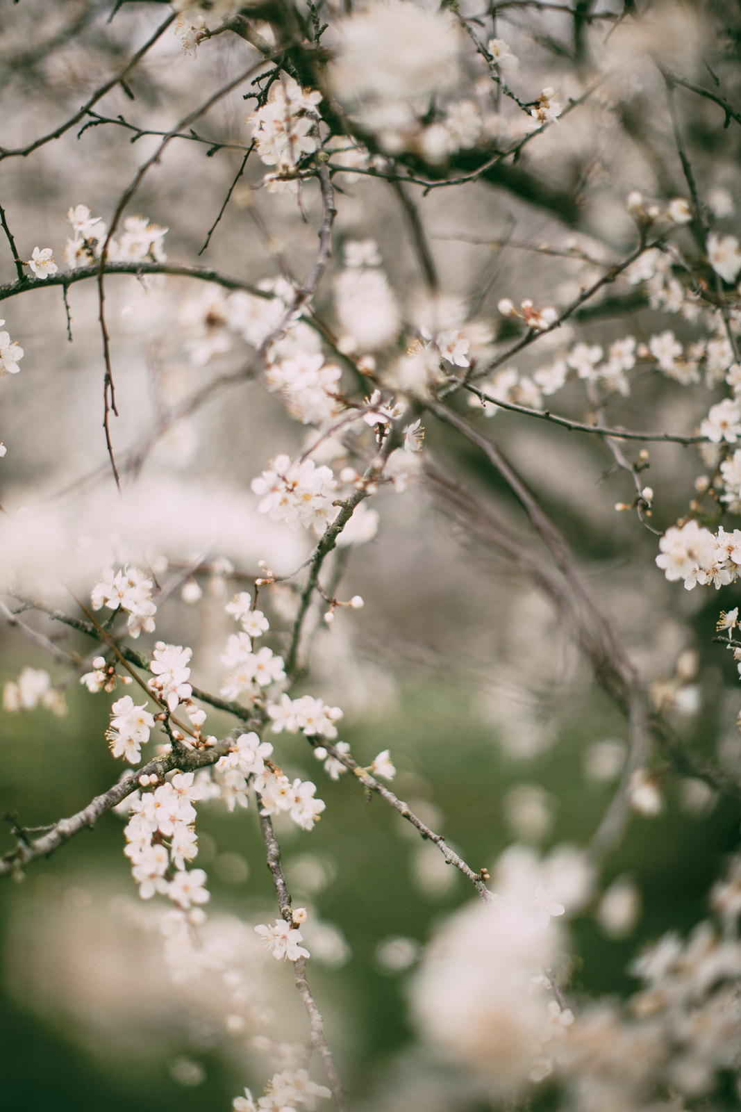 white blossom-44