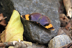 Gold-banded forester Udzungwa Mountains National Park in Tanzania