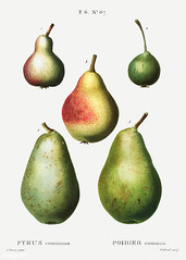 Pear (Pyrus communis) illustration from Traité des Arbres et Ar