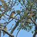 Flickr photo 'Cedar Waxwings (Bombycilla cedrorum) in Laurel Oak (Quercus laurifolia)' by: Mary Keim.