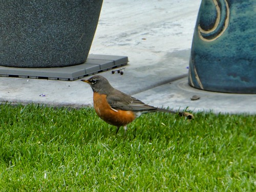 2019-03-11 - Nature Photography - Birds - Red Robins and Friends