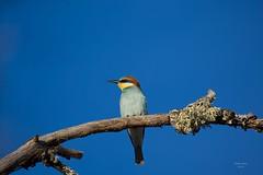 Abelharucos (Bee-eater)