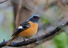 Photo:Daurian redstart male (Phoenicurus auroreus, ジョウビタキ By Greg Peterson in Japan