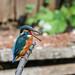 Kingfisher 1903171301.jpg