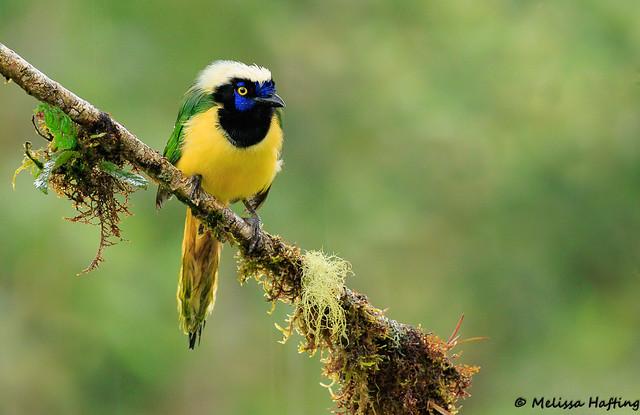 Inca Jay (Cyanocorax yncas) - Cosanga, EC