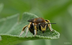Anthidium manicatum - Photo of Alençon