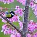 青背山雀與春櫻