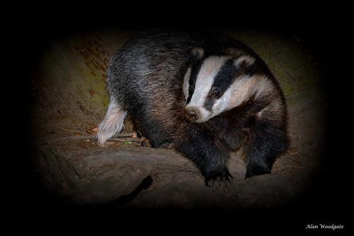 Badger (Meles meles) - Buckinghamshire