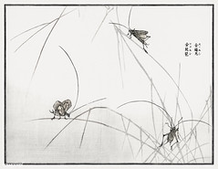 Japanese insect Suzumushi bell cricket illustration from Churui