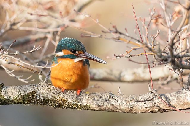 20190225-kingfisher-DSC_1854