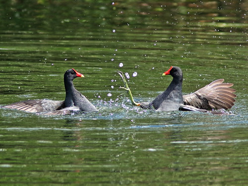 Common Gallinules mix it up 03-20190308