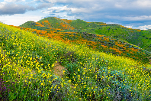 Walker Canyon Poppy Fields Mountains in Full Superbloom