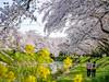 Photo:新境川堤の桜(岐阜県各務原市) By kzy619