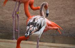 Juvenile Flamingo
