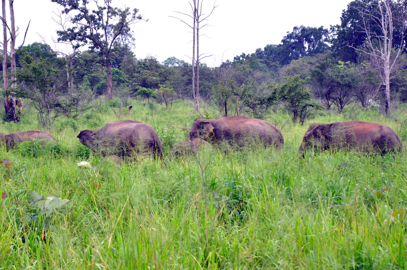 VER ELEFANTES SALVAJES EN SRI LANKA ver elefantes salvajes en sri lanka - 46921997112 f2dd4404ed h - Ver elefantes salvajes en Sri Lanka