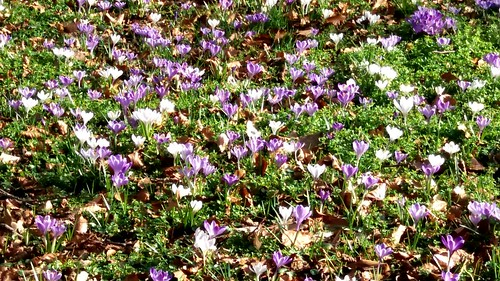 Krokus tapijt op een lente dag - foto: Tiny Post.