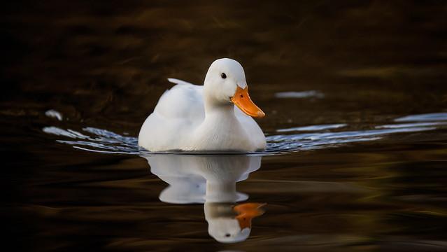 White duck (1/2)