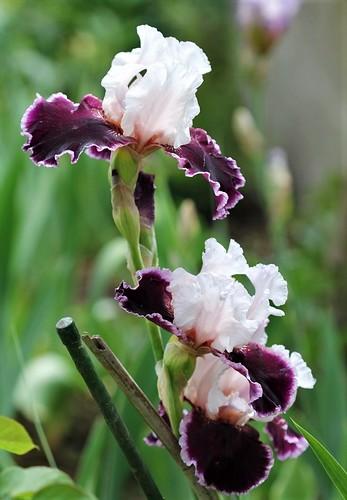 Iris - floraisons 2011 - Page 2 47144977042_72f15df4d1